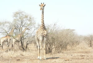Giraffe in dry savannah veld
