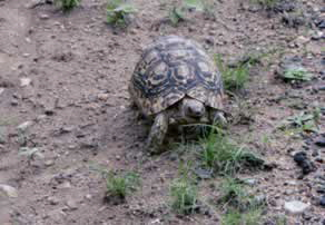 Leopard Tortise - on the move