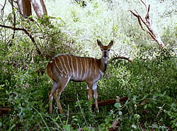 Startled bushbuck seen on safari with us