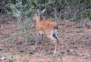 Steenbok browsing on thorn bush