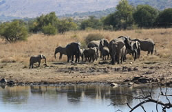 herd of eles in pilansberg game reserve